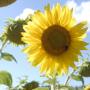 Sonnenblume: In Drôme scheint die Sonnenblume.