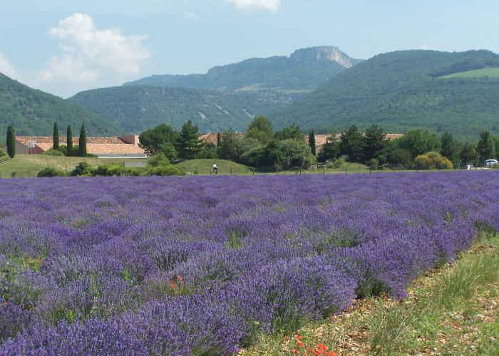 Lavendelvelden in het dal